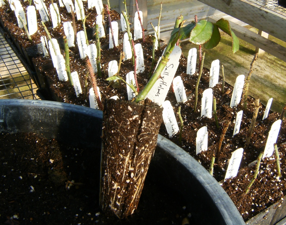 Rooted cutting